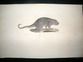 Saint Hilaire & Cuvier C1830 Folio Hand Col Print. Prehensile-tailed porcupine